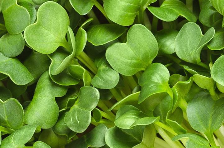 Daikon Radish Seeds Microgreens - Wholesome Supplies