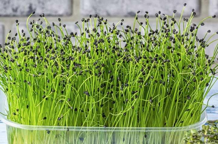 Onion Microgreen Seeds