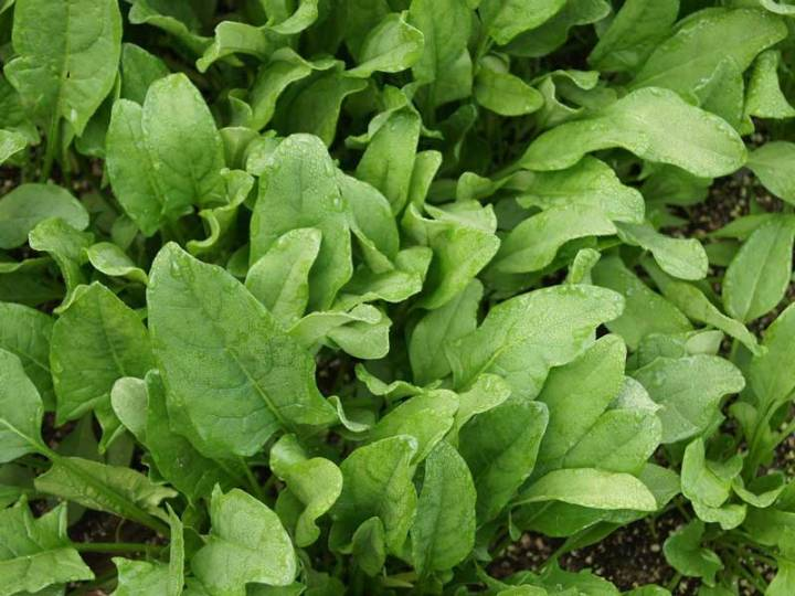 Spinach Viroflay