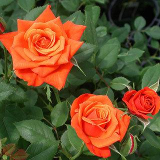 Denvers Dream Copperorange Miniature Rose reviews