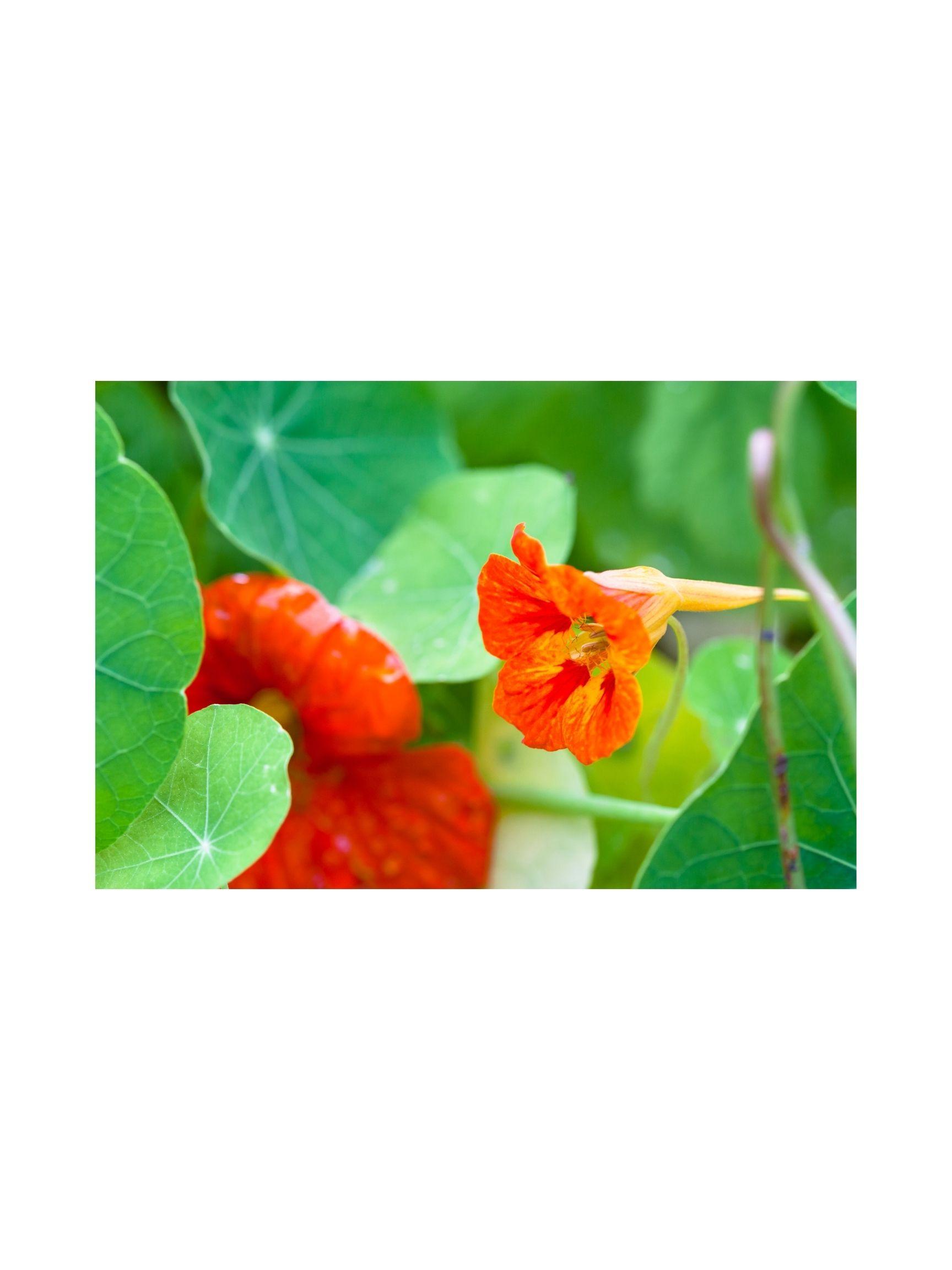 Nasturtium Seeds in Mix,Tropaeolum Majus Jewel  Fresh seeds  2gr