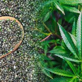 Cannabis Seeds Collection
