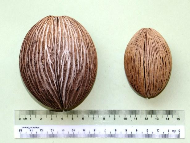 Cerbera manghas 3P7A8661
