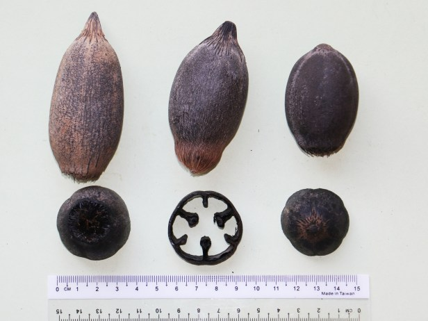 Eugeissona utilis 3P7A8558