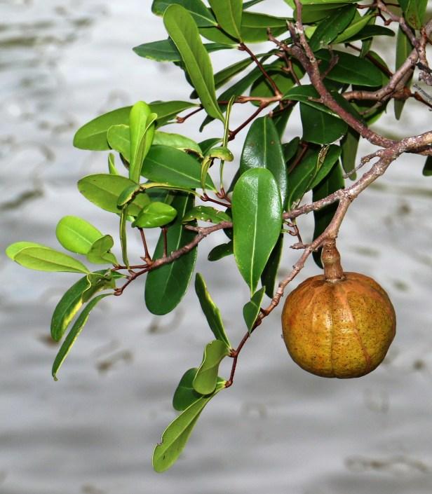 Xylocarpus granatum IMG_1191.JPG