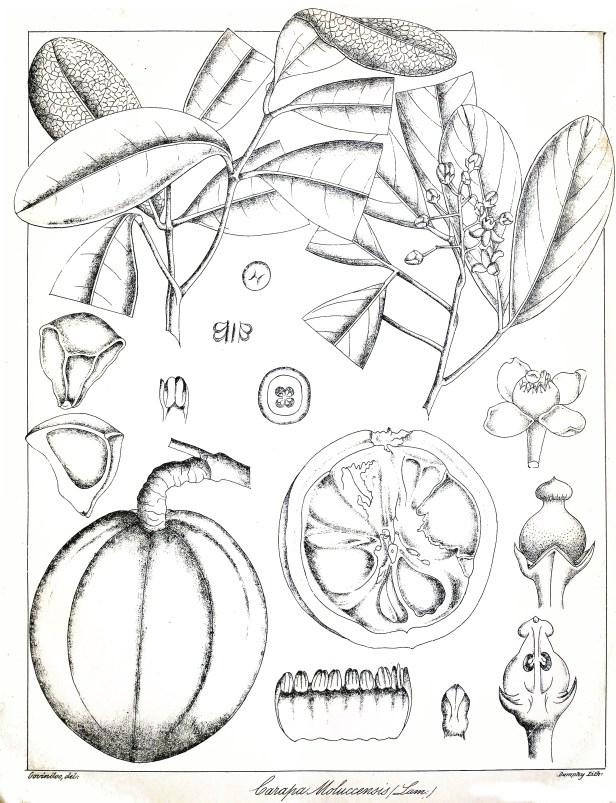 Xylocarpus_moluccensis_Govindoo
