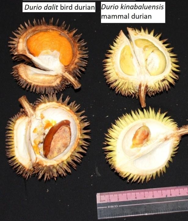 3 wild durians 05  IMG_3224   -  - Copy.JPG