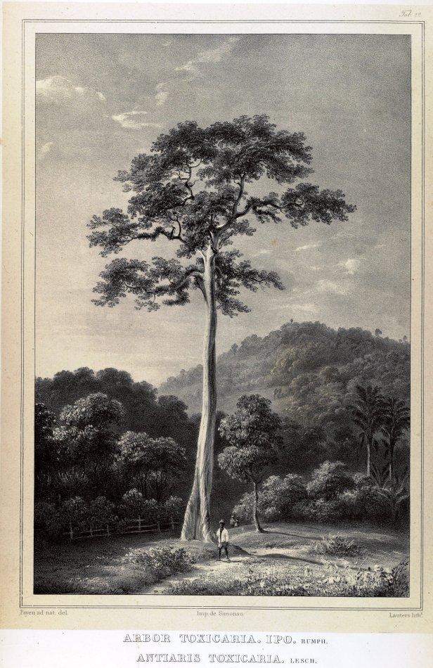 Antiaris toxicaria Blume Rumphia (1835) 160871.jpg