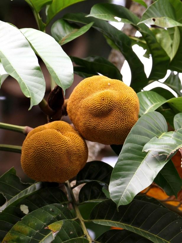 Artocarpus anisophyllus IMG_1080.JPG