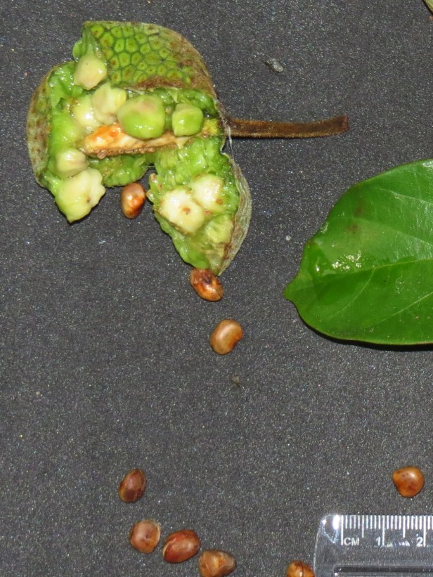 Artocarpus kemando Borneo  IMG_0013.JPG