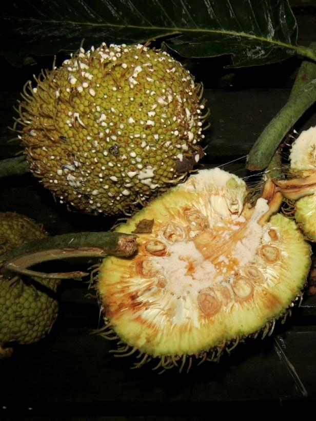 Artocarpus tamaran Borneo IMG_0039.JPG