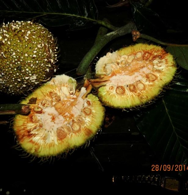 Artocarpus tamaran Borneo IMG_0042.JPG