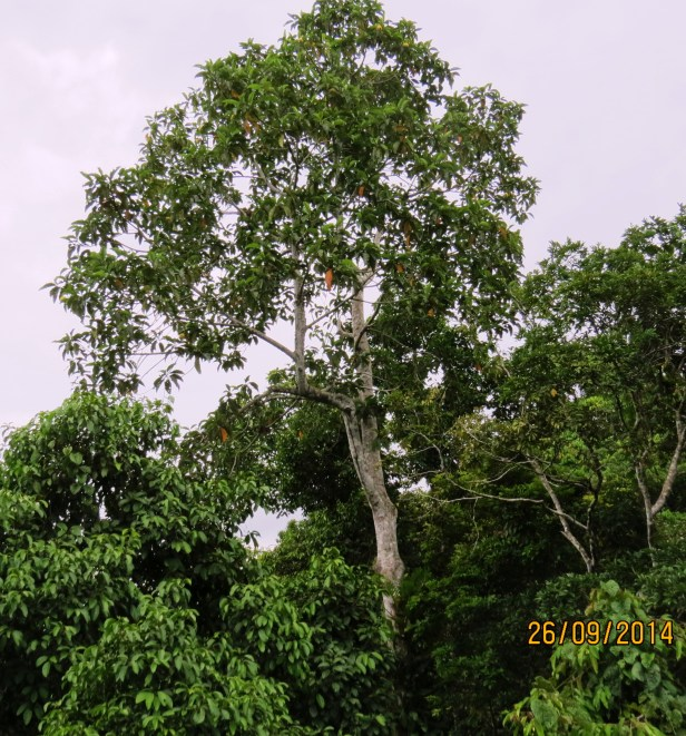 Artocarpus tamaran Borneo IMG_0070