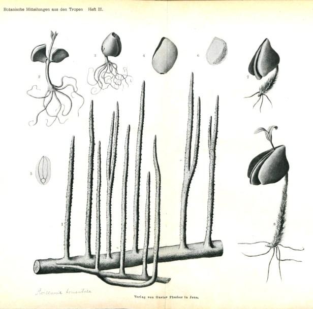 Avicennia roots and propagules 140104 - Copy.jpg
