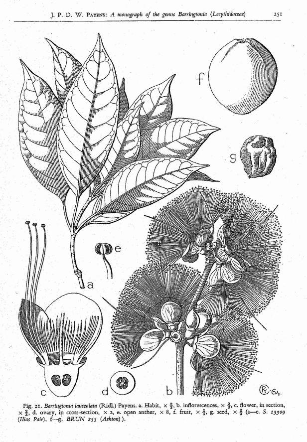 Barringtonia lanceolata 02 from Payens.jpg