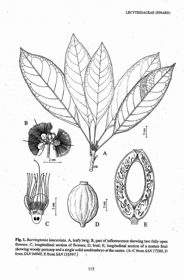 Barringtonia lanceolata from Pinard (2002).jpg