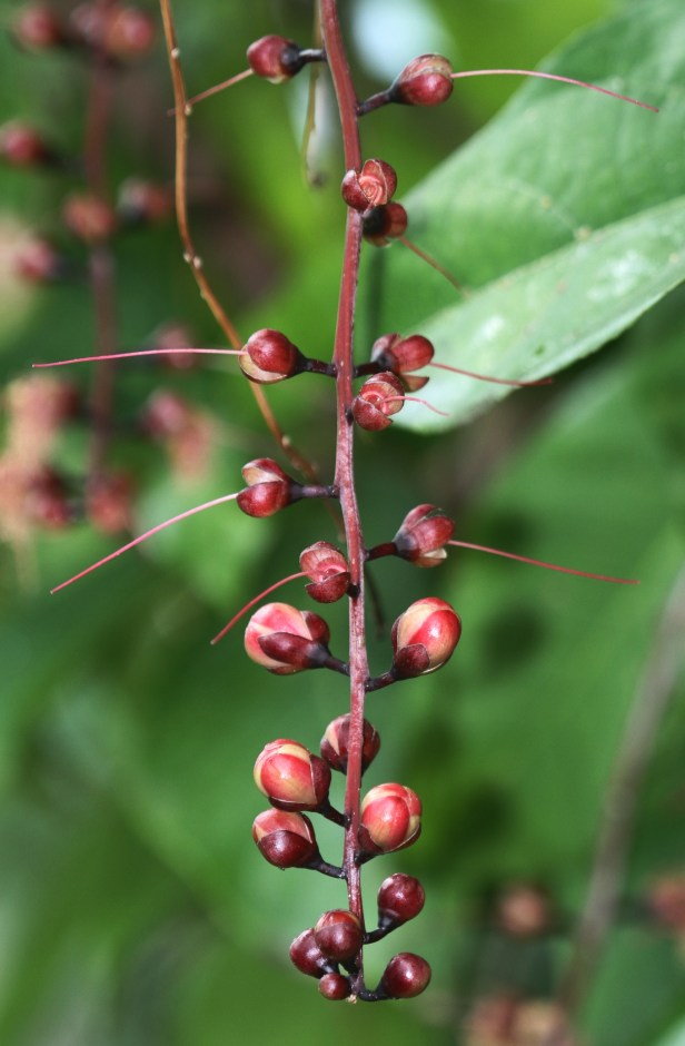 Barringtonia racemosa IMGL9998.JPG