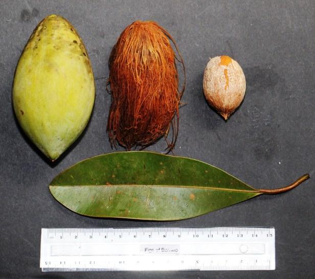 Bunut Callophyllum macrocarpum 04 IMG_2774.JPG