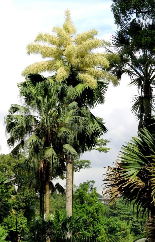 Corypha umbraculifera IMG_1147.JPG