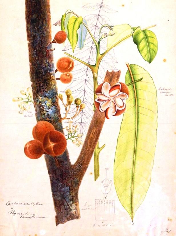 Dysoxylum parasiticum 320557.jpg