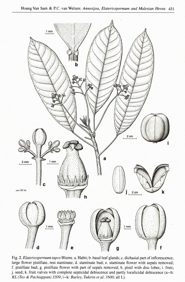 Elatiospermum illustration.jpg