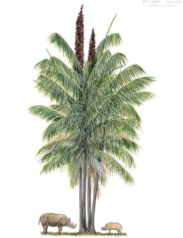 Eugeissona utilis Palm 300 DPI.jpg