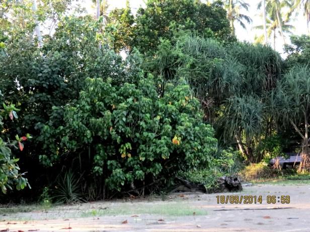 Hernandia nymphaeifolia IMG_0043