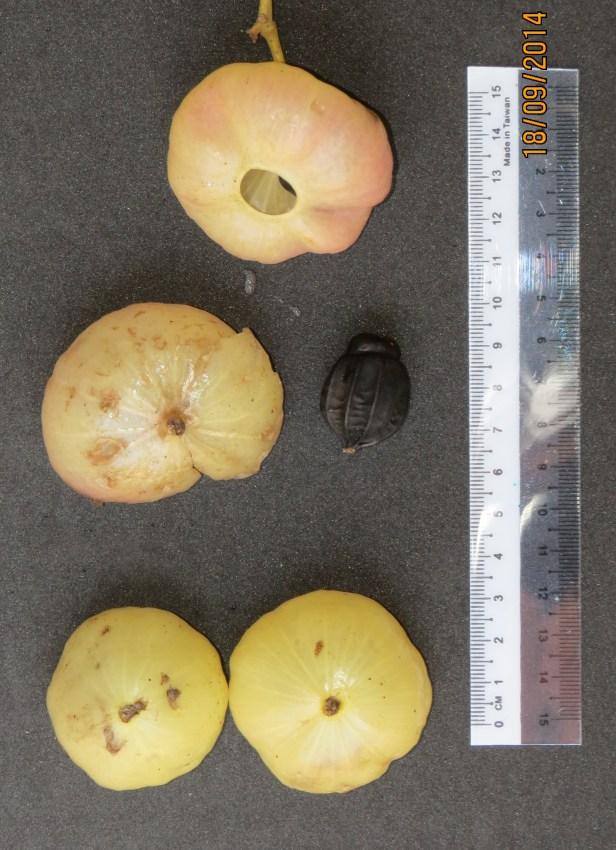 Hernandia nymphaeifolia IMG_0288.JPG