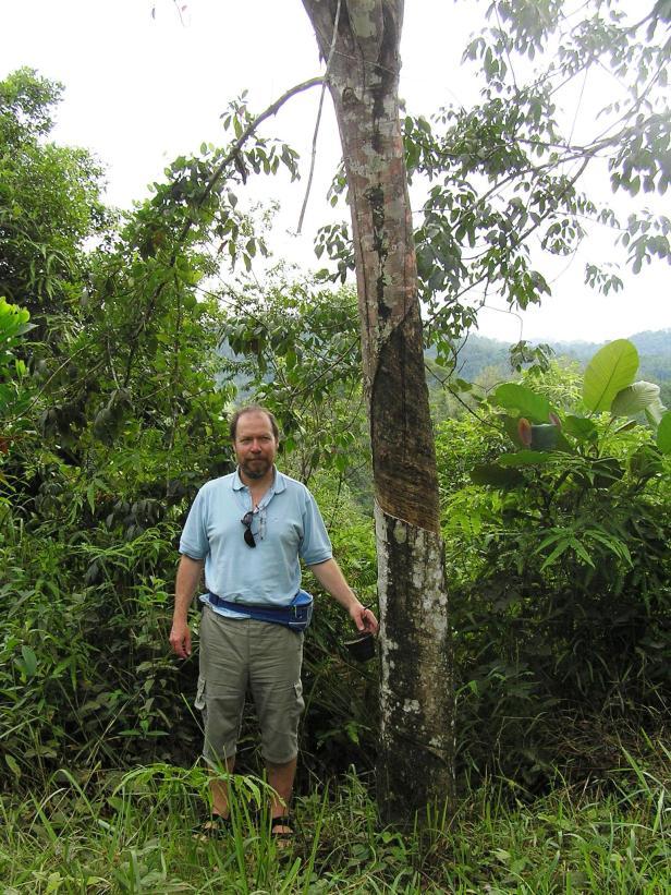 Hevea brasiliensis Borneo P1030115.JPG