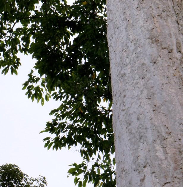 Irvingia malayana