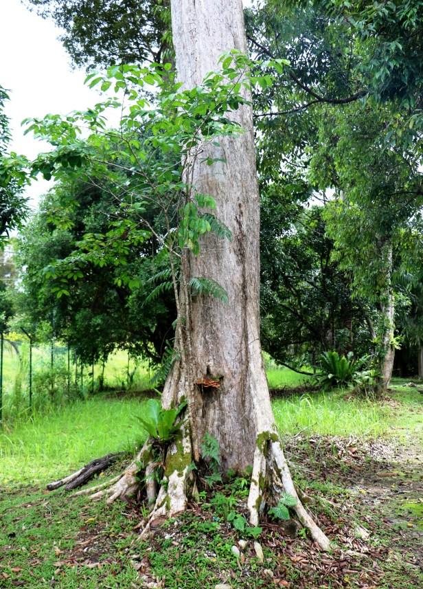 Irvingia malayana IMG_2463