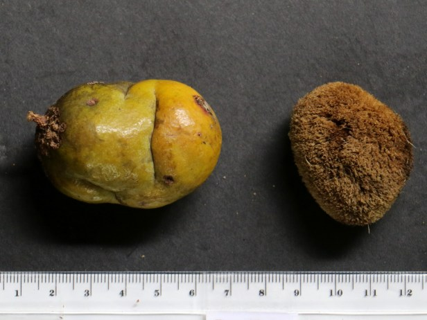 Irvingia malayana IMG_2777.JPG