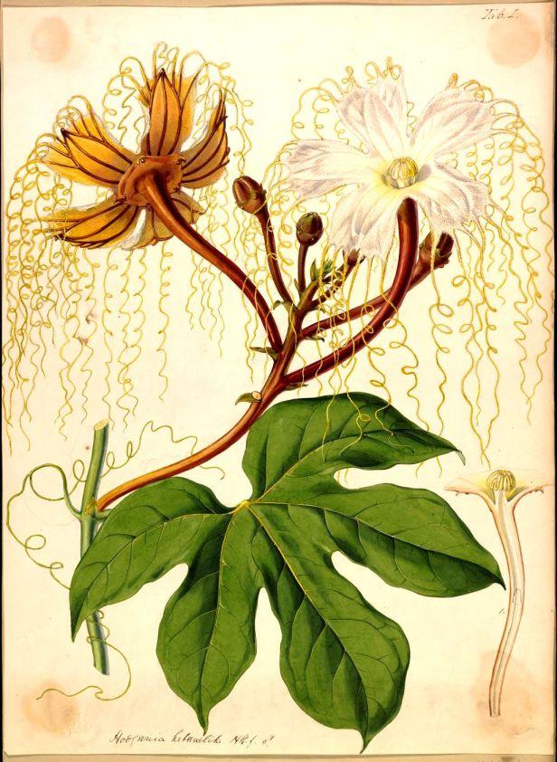 Male flower Hodgsonia macrocarpa W H Fitch 1895.jpg