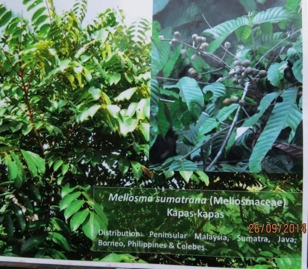 Meliosma sumatrana BorneoIMG_0188.JPG