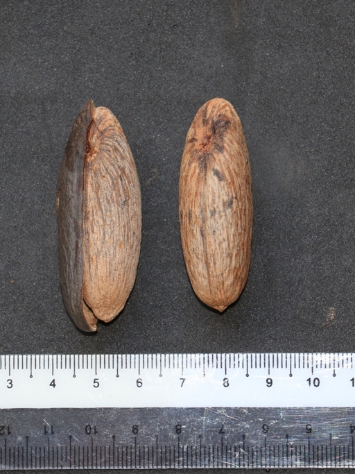 Mulu nutmeg 06 5 cm long  3P7A0161 - Copy.JPG