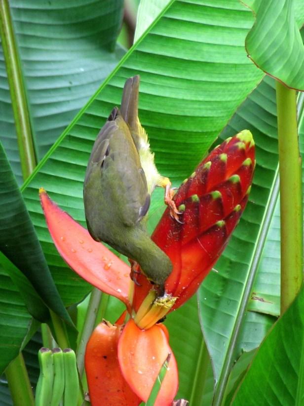 Musa beccarii Borneo IMG_6144