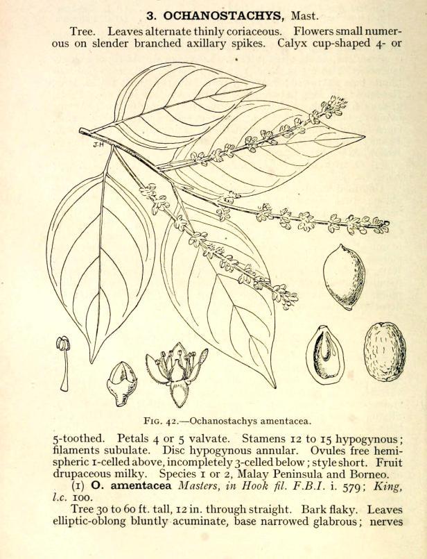 Ochanostachys amentaceae 1937.jpg