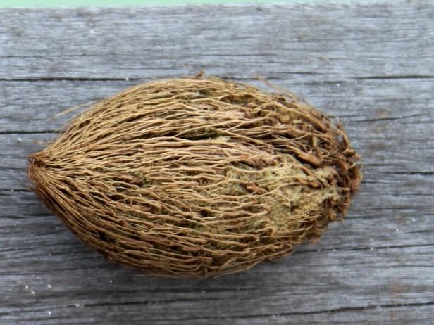 Ochrosia oppositifolia seeds 01 8036 - Copy.jpg
