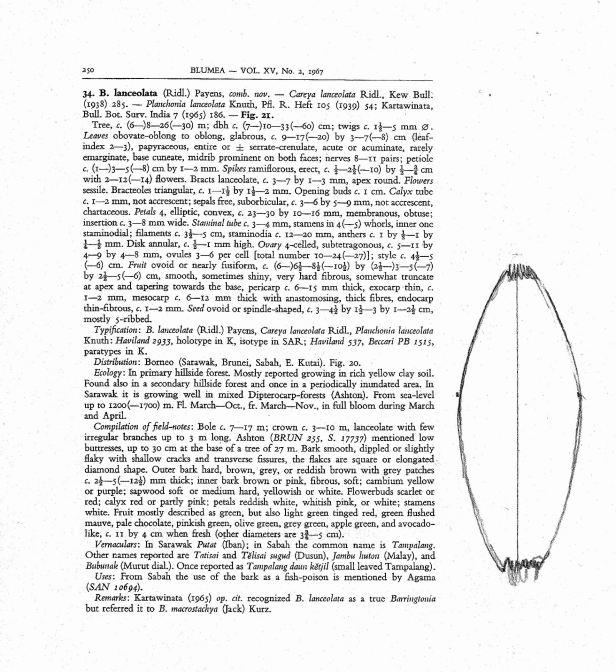 Payens (1967) Barringtonia lanceolata text.jpg