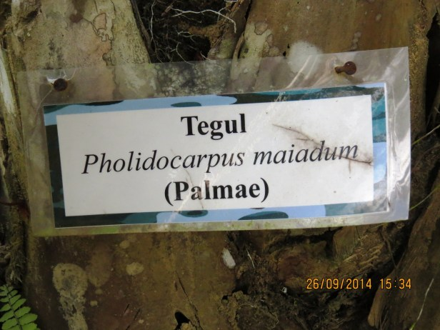 Pholidocarpus majadum IMG_0225.JPG