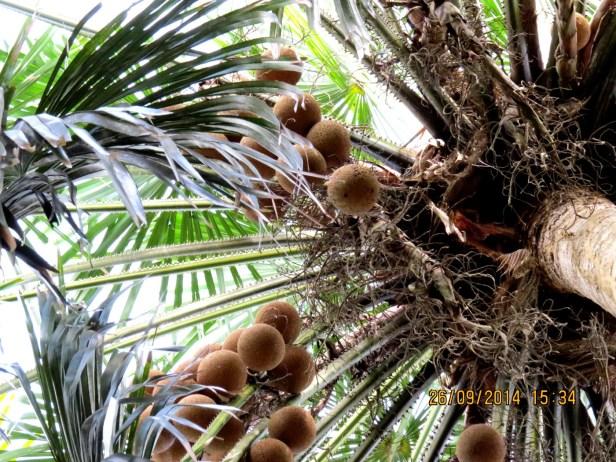 Pholidocarpus majadum IMG_0232.JPG