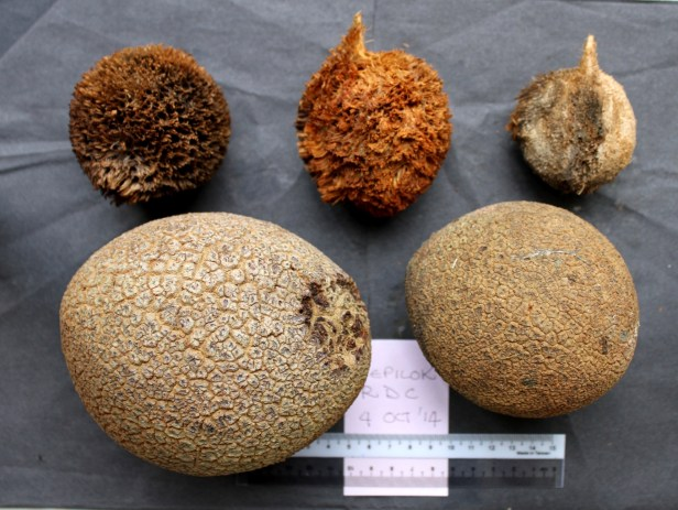 Pholidocarpus majadum IMG_1588.JPG