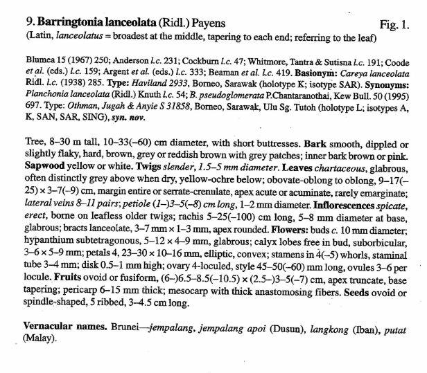 Pinnard (2002) Barringtonia lanceolata.jpg