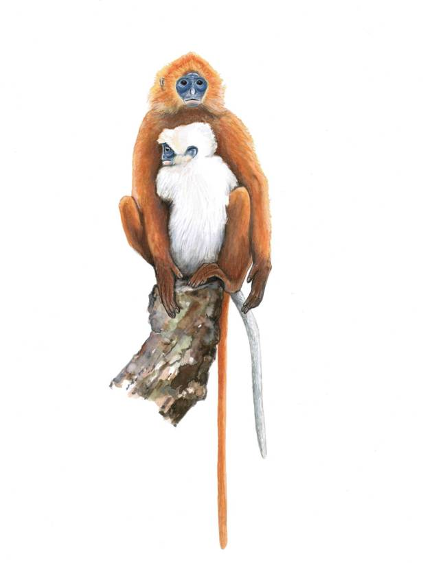 Red Langur Borneo resized.jpg