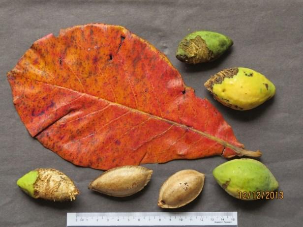 Terminalia catappa IMG_3084.JPG