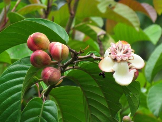 Dillenia excelsa  Borneo IMG_6086.JPG
