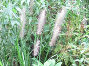 Feathery grass for sound and texture