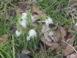 My first snowdrops