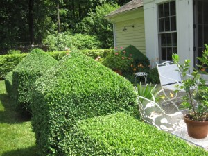Healthy boxwood hedge trimmed to shape.