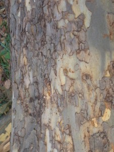 Bark pattern that looks like an abstract watercolor.